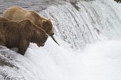 picture of mating bears  - A grizzly bear is looking and debating if its worth fighting for the fish that got away on the Brooks Falls in Katmai National Park Alaska.