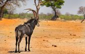 stock photo of antelope horn  - An isolated male sable antelope standing on the plains in Hwange National Park - JPG