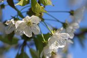 foto of tree-flower  - Apple tree flowers-spring tree flowers in sunny day ** Note: Soft Focus at 100%, best at smaller sizes - JPG
