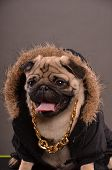 foto of jacket  - Pug dog wearing black jacket with fur hood and big golden necklace gangster look portrait studio shot - JPG