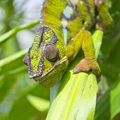 image of chameleon  - Closeup of a chameleon among the leaves of a tree - JPG