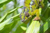 stock photo of chameleon  - Closeup of a chameleon among the leaves of a tree - JPG