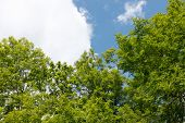 stock photo of ashes  - Ash tree crowns against the sky with white clouds - JPG