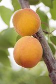 pic of apricot  - Apricots ripen on the tree - JPG