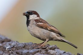 stock photo of gathering  - An adult male House Sparrow  - JPG