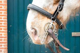 image of workhorses  - White and Browm Dappled Horse wearing Bridle Tack  - JPG