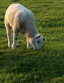 Grazing Lamb poster