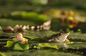 Two Different Sized Green Paddy Frogs On Waterlily Leaf