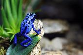 stock photo of poison arrow frog  - A macro shot of a Blue Poison Dart Frog  - JPG