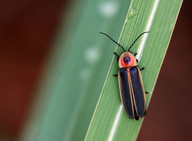 foto of lightning bugs  - A macro shot of a lightning bug  - JPG