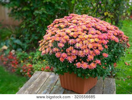 poster of Pot of vibrant chrysanthemum flowers in a back yard garden.