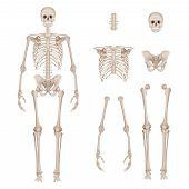 Human Skeleton. Body Parts Skull Bones Hands Foot Spine Anatomy Detailed Realistic Vector Illustrati poster