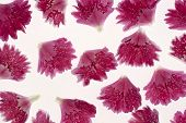 Picture of studio shot of red colored carnation petals background. Large depth of field (dof). Macro. Symbol of gallantry.