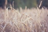 Ears Of Wheat. Wheat Field. Ears Of Golden Wheat Close Up. Beautiful Nature Sunset Landscape. Rural  poster