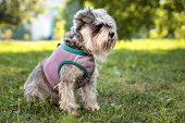 Portrait Of A Cute Dog Miniature Schnauzer, Sits On The Grass In The Park.  Puppy  Training And Obed poster