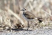 picture of killdeer  - A small killdeer bird blends in with the grass behind it - JPG
