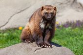 picture of wolverine  - This is a photo of a wolverine sitting on a rock - JPG