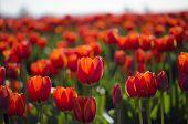 Постер, плакат: Поле из красных тюльпанов
