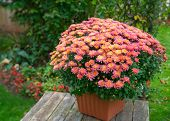 Pot of vibrant chrysanthemum flowers in a back yard garden. poster