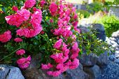 Centifolia Roses, The Provence Rose Or Cabbage Rose Or Rose De Mai In The Garden poster