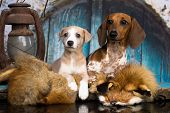 Dachshund puppy and whippet puppy poster
