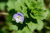 Blue Flower Veronica Persica In The Garden. poster