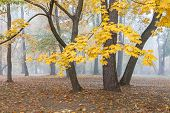 Maple Trees With Yellow Bright Foliage In Foggy Mystery Park In Autumn poster