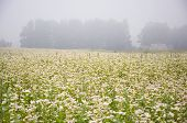 Blossoming Buckwheat Field And Summer Morning Fog