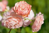 picture of english rose  - An English rose from the rose breeder David Austin - JPG