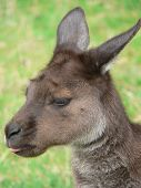 picture of tammar wallaby  - cheeky kangaroo sticky its tongue out  - JPG