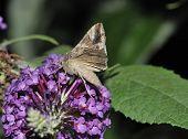 foto of gamma  - Silver Y Moth - Autographa gamma Feeding on Buddleja bush flowers - JPG