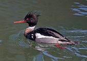 image of crested duck  - A close up of a Red - JPG