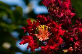 foto of crepe myrtle  - Beautiful red crepe myrtle under sunny daylight - JPG