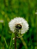 Dandelion Seeds On Green Grass