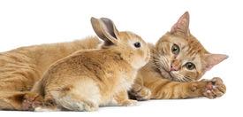 pic of dwarf rabbit  - Cat and Rex dwarf rabbit - JPG