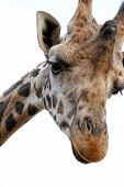 stock photo of nacked  - Giraffe with sad face  - JPG