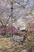 stock photo of lamp post  - Park Benches by Lamp Post in the Park During Spring Time with Cherry Blossom Trees and Azalea Shrubs in Bloom - JPG
