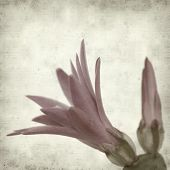 foto of schlumbergera  - textured old paper background with Christmas cactus - JPG