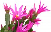 stock photo of schlumbergera  - Bright Magenta Christmas Cactus isolated on white - JPG