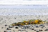 picture of pacific rim  - Seaweed on sand - JPG