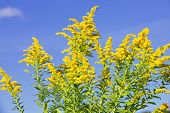 stock photo of goldenrod  - Blooming goldenrod plant on blue sky background - JPG