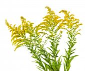 image of goldenrod  - Blooming goldenrod plant isolated on white background - JPG