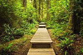 stock photo of pacific rim  - Wooden path through temperate rain forest - JPG