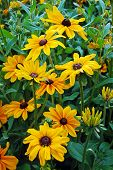 Black Eyed Susan Flower Garden