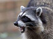 pic of raccoon  - Portrait of a common raccoon defending its food - JPG