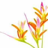 stock photo of heliconia  - Pink Heliconia flower - JPG