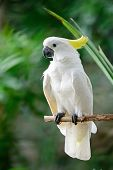 image of cockatoos  - Beautiful white Cockatoo - JPG