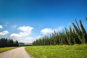 foto of hop-plant  - Landscape with a ripening hop plants in a sunny day - JPG