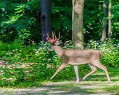 picture of antlers  - Whitetail Deer Buck crossing a road with shedding velvet antlers - JPG