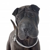 picture of shar pei  - female shar pei in front of white background - JPG
